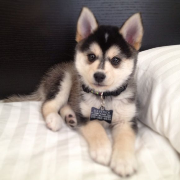 Pomsky--Pomeranian and husky. WOW! I just can't imagine a pom & a husky but he sure is cute...