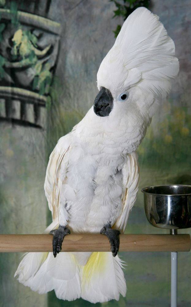 Top 25 ideas about Umbrella Cockatoo on Pinterest | Pets ...