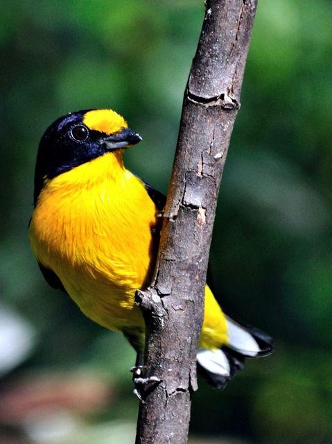 Foto gaturamo-verdadeiro (Euphonia violacea) por Jarbas Mattos   Wiki Aves - A Enciclopédia das Aves do Brasil