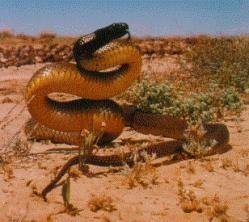 La serpiente Taipan de Australia es la más venenosa