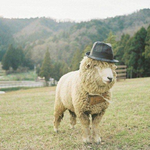 10 Funny sheep to make you giggle: sheep with a fedora on its head: LoveKnitting