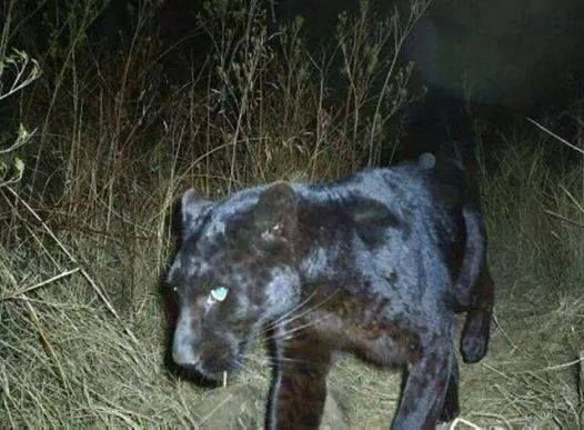 Black panther caught on game camera in clay co west for Lake istokpoga fish camps