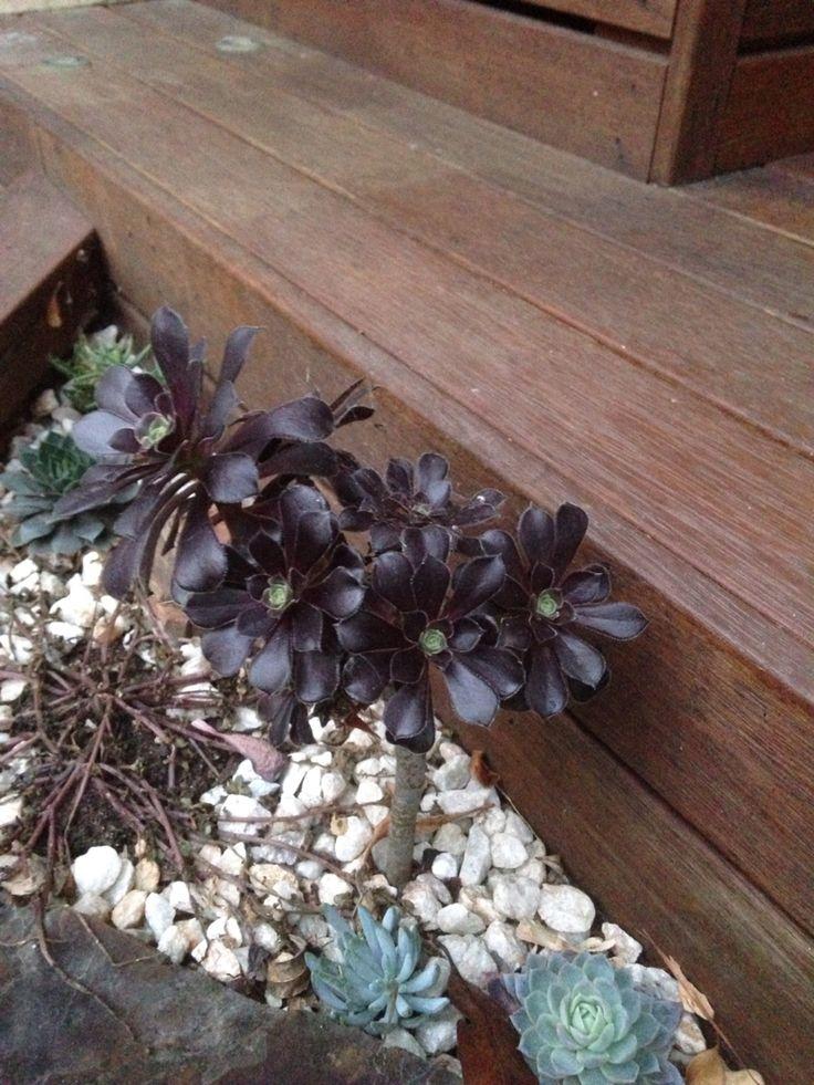 Black rose aeonium