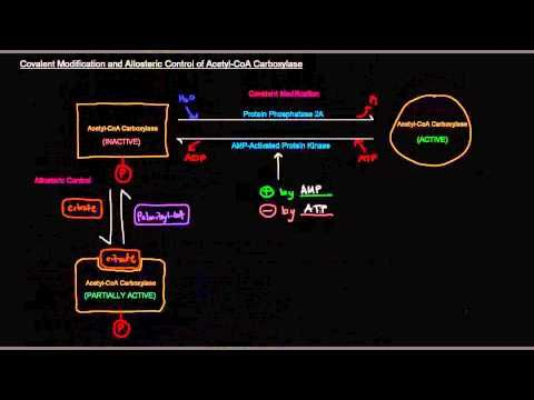 Fatty Acid Synthesis (Part 8 of 12) - Regulation
