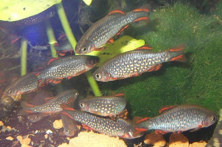 Perlhuhnbärbling - Danio Margaritatus mit... (Neumünster) - Sonstige Fische - Deine-Tierwelt.de