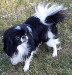 Halle(NY) is an adoptable Japanese Chin Dog in Owego, NY.  Name: Halle  Age: DOB 8-1-05  Weight: 12#  Adoption Donation: $200  Current foster location: Binghamton NY area As a Volunteer Rescue Organiz...