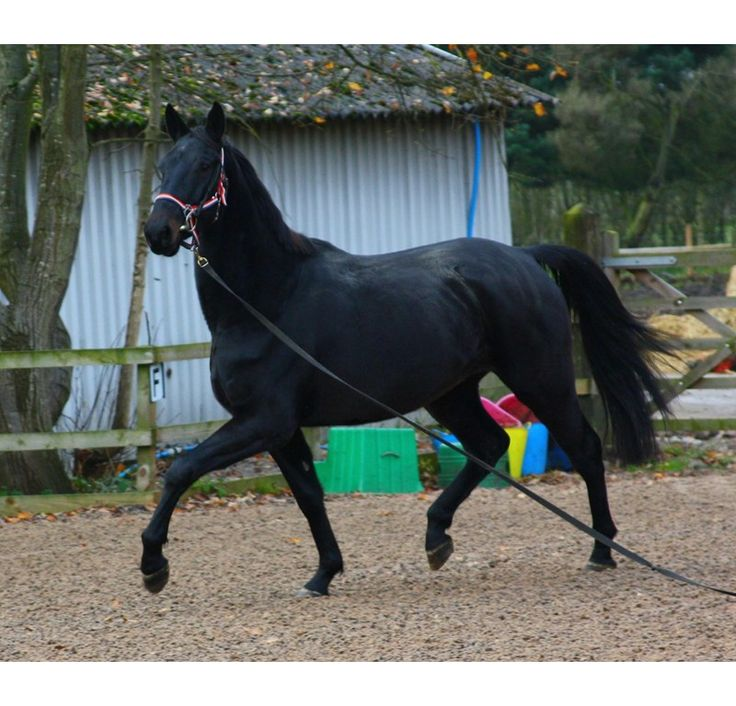 Stunning black kwpn three year old gelding for sale for Old black and white photos for sale