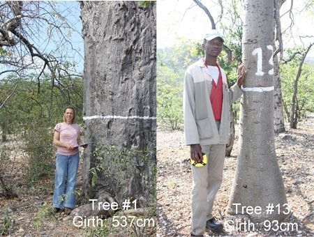 This week I did my annual trip to Skelmwater. This is a baobab research plot situated near Musina long the N1. Skelmwater was established in 1930 by the late Professor de Villiers of Stellenbosch University. The aim was to measure the rate of growth of baobabs in their natural environment. Despite the small number of …