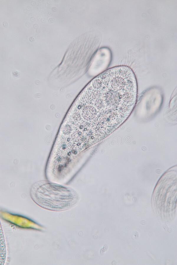 Paraziti tip protozoan. protozoare parazite