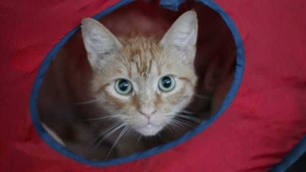 Cat enrichment important for healthy pets, SPCA Auckland says.