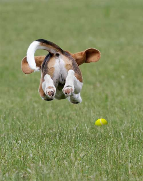 Beagle jumpin