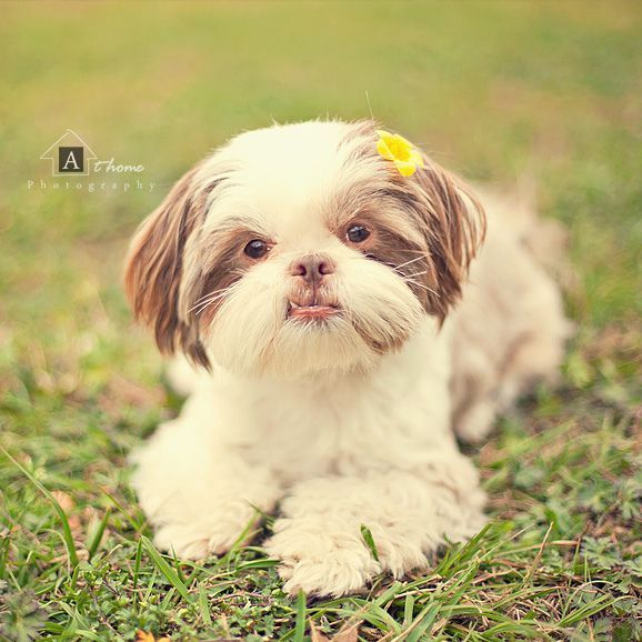 I Love A Liver Shih Tzu My First Was Liver Brown Nose Pink Lips