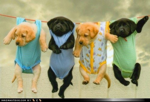 Soooooooooo cute: Clotheslines, Clothing Line, Cute Baby, Puppy, Baby Dogs, Labs Puppies, Baby Puppies, Black Labs, Animal
