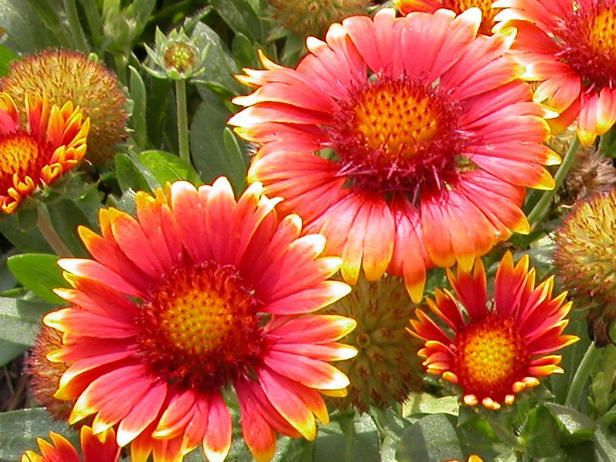 27 best images about sun loving plants for the south side Plants that love sun and heat