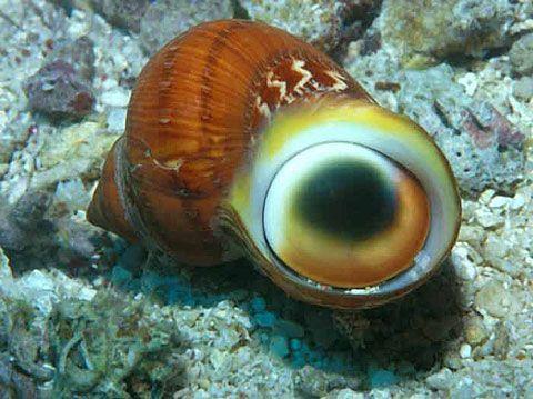 Cat S Eye Stone Operculum
