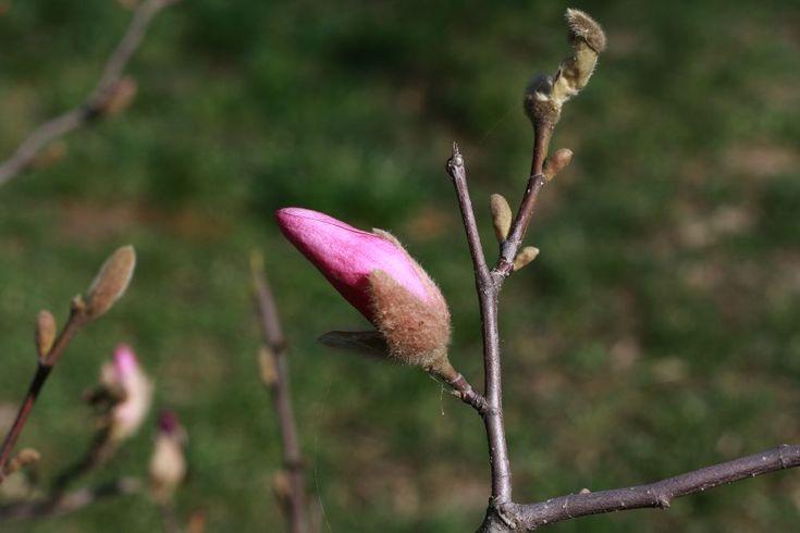magnolia bud by mircea.fotograf.az