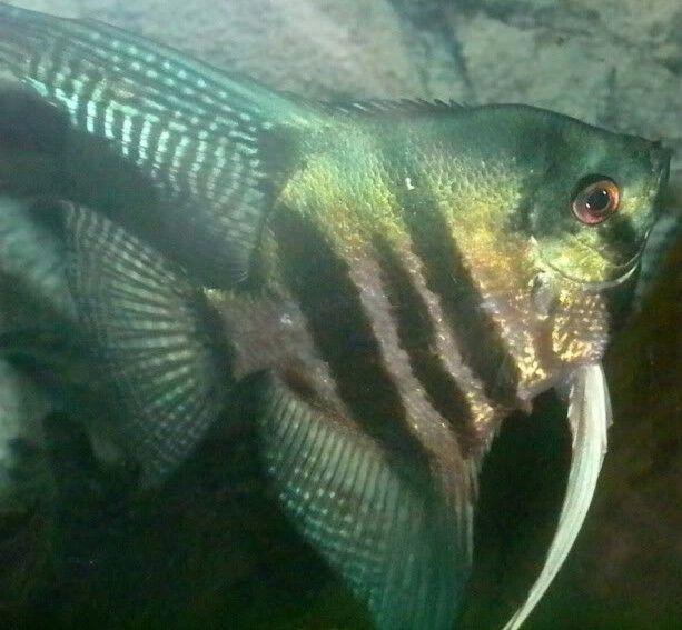 Pinoy Green Zebra Angelfish Angel Fish Discus Fish For Sale Beautiful Fish