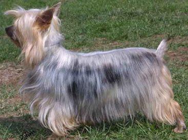 Terrier australien à poil soyeux, silky