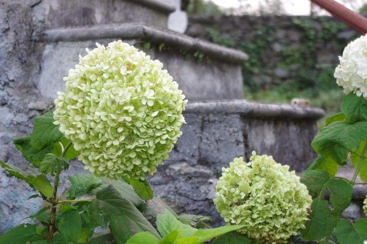 Hydrangea arborescens Annabelle ; Gardenista - 10 Best Hydrangeas to Grow Right Now