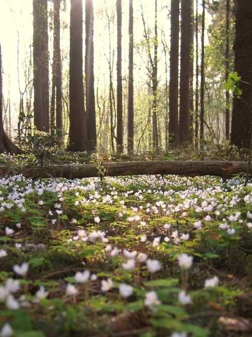 valkovuokko metsässä