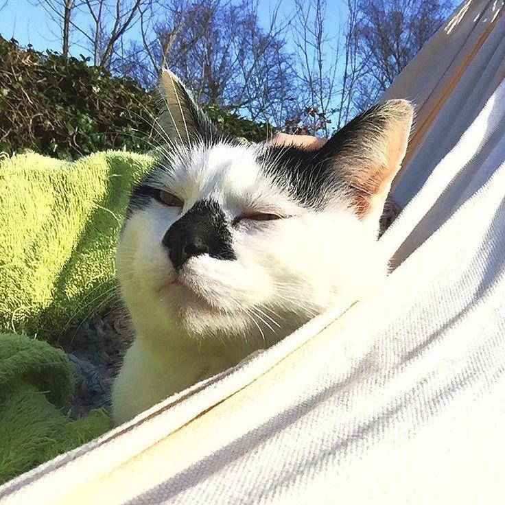 "Look at his ""I'm really enjoying the hammock face"" just like me he likes the fresh air and sunshine  ---------- #catstagram #cat #kat #catsofinstagram #catsofig #catlover #instacat #catoftheday #ilovemycat #purr #pet #furball #petstagram #katten #meow #kitty  #notmycat  #lifewithcats #hammock #hammocklife #hangmat by @snorhaartje"
