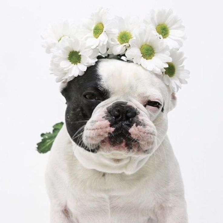 French Bulldog in a Daisy Chain Crown