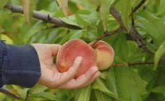 Tipps gegen die Kräuselkrankheit -  Im zeitigen Frühjahr stehen die Chancen gut, der Kräuselkrankheit am Pfirsich mit einem biologischen Pflanzenstärkungsmittel vorzubeugen. Was sonst noch wichtig ist, um die Pilzkrankheit in den Griff zu bekommen, lesen Sie hier.
