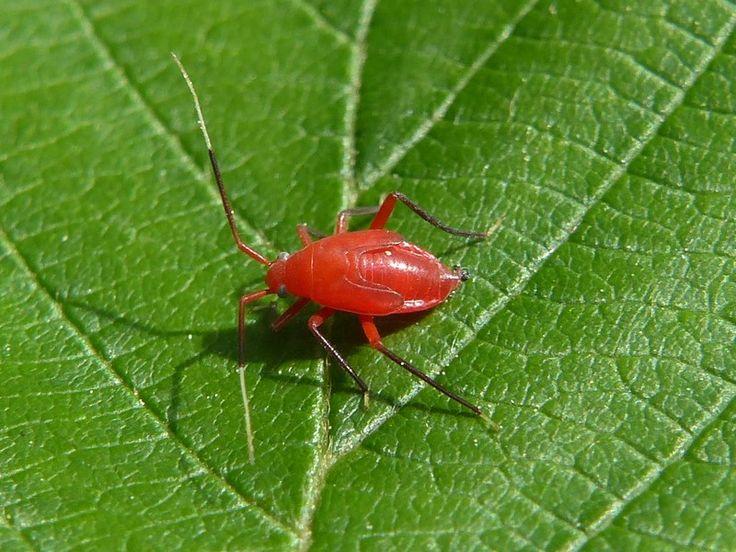 http://faaxaal.forumactif.com/t3724-global-hemipteres-du-quebec-hemiptera-punaise-puceron-cigale-fulgore-cicadelle-membracide-psylle-aleurode-cochenille-cercope-bug-aphid-cicada-planthopper-leafhopper-treehopper-psyllid-whiteflie-scale-insect#12234