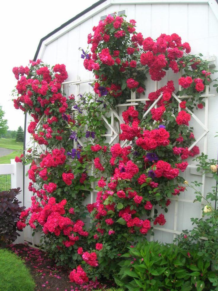 Climbing rose 'Blaze' with clematis