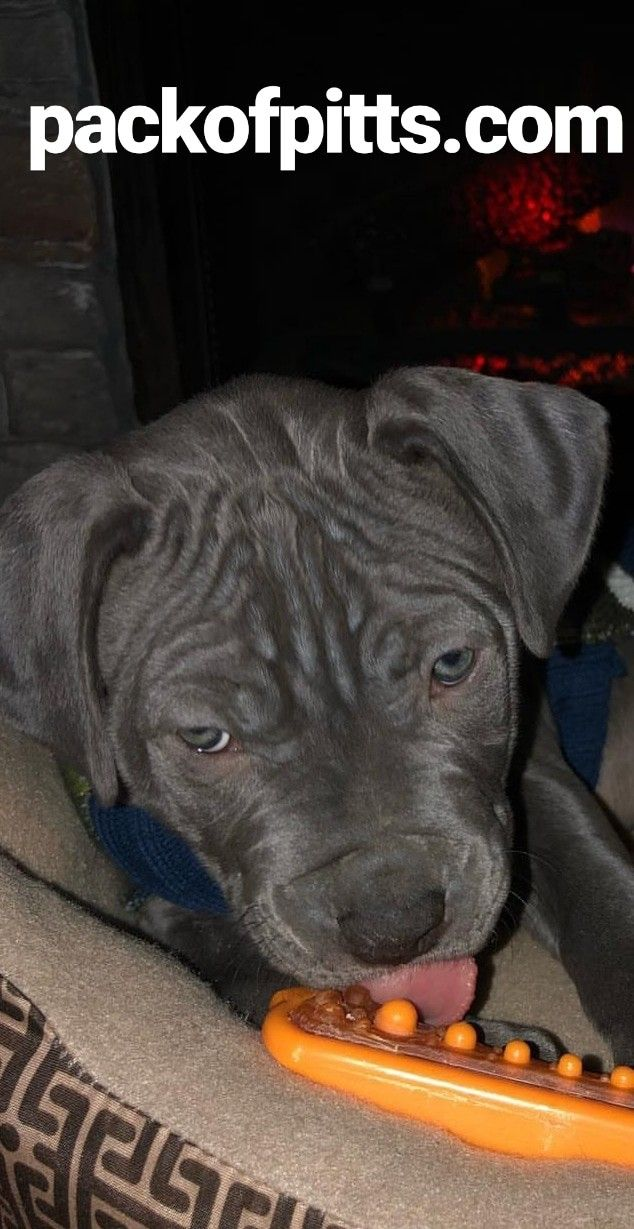 Pin On Pit Bull Puppies So Cute