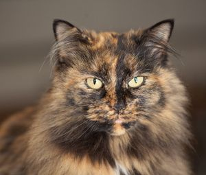 Beautiful medium-haired tortoiseshell cat! And I would name him Duke.