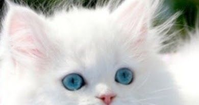 .A Ragdoll kitten from a reputable breeder will cost you around $400 to $700.You can also get a kitten from a shelter that would cost you much less than this.