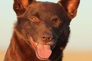 The canine star of <i>Red Dog</i>, Koko, has died in Perth.
