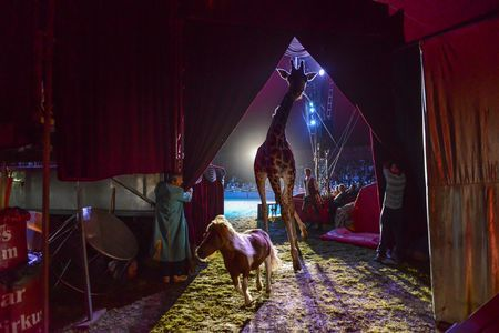 Zambesi the circus giraffe Photo by Esther Horvath -- National Geographic Your Shot