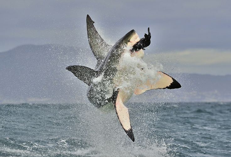 Winner of 35AWARDS 2015. Predation. Большая белая акула аттакует Photographer: Сергей Урядников (Sergey Uryadnikov)