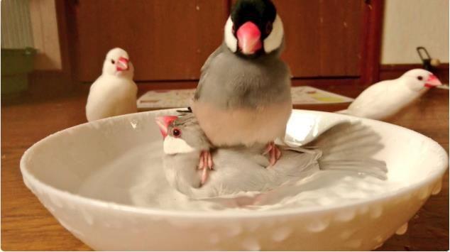「違う、そこじゃない」 水浴び好きの文鳥さんが着地場所を間違えてしまったようです | Pouch[ポーチ]