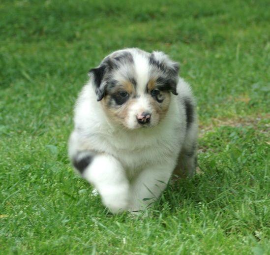 Australian Shepherd Puppy Dog Breed
