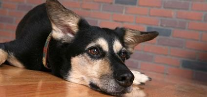 5 Home Remedies to Cure Kennel Cough | Dogster