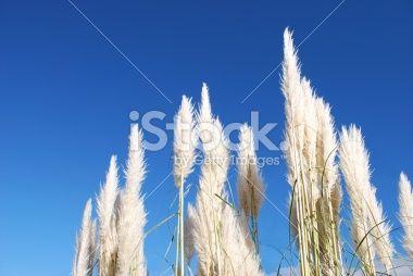 'Toitoi' or 'Toetoe' Grass Heads Royalty Free Stock Photo