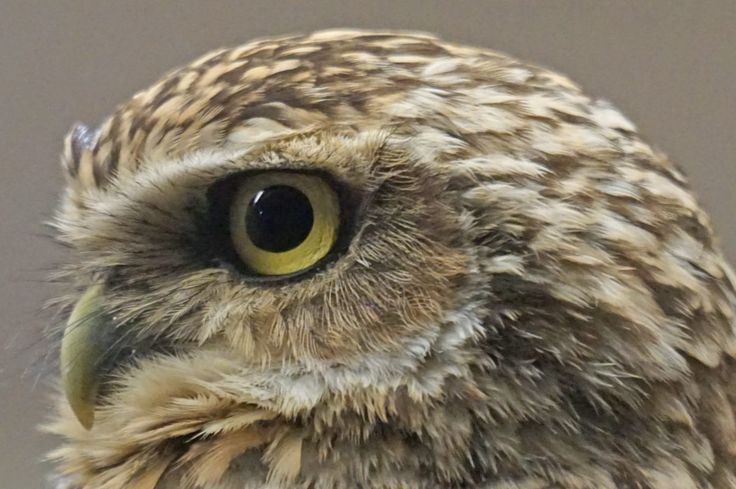 owl head from left