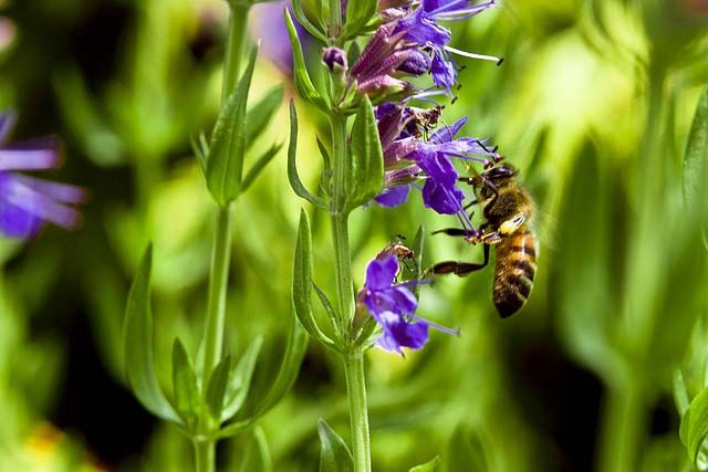 Izsóp: ismert gyógy- és fűszernövény