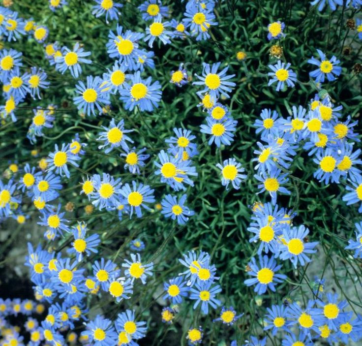 Felicia bergeriana 'Cub Scout' Seeds £2.08 from Chiltern Seeds - Chiltern Seeds Secure Online Seed Catalogue and Shop