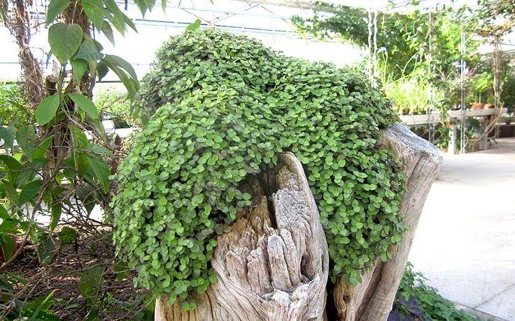 Kriechendes Schönpolster (Pflanze) in den Korb im Regal