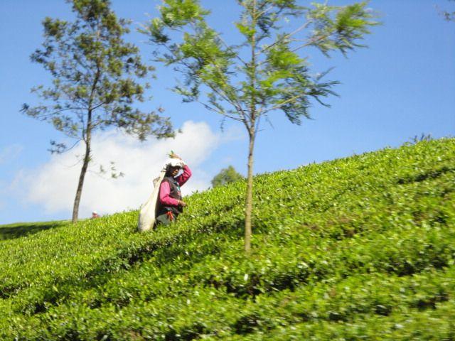 Lady laborer plucking Tea