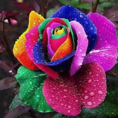 Multicolor rose!! Extraordinary!!!