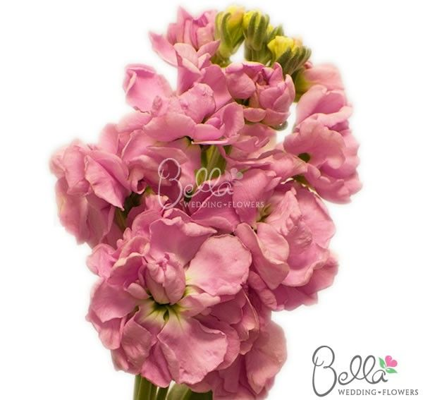19 best stock flowers images on pinterest stock flower bright our pacific pink stock flowers are a great filler to accent floral arrangements we offer mightylinksfo Gallery