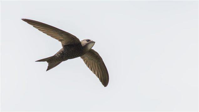 Un martinet noir - Un vol de 10 mois sans se poser