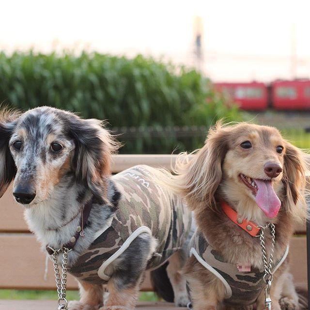 ざわわ ざわわ ざわわ〜🎶 って さとうきび畑なわけないか😂 * トウモロコシ🌽か❓🤔 * * * #わんこ#ダックス#短足部 #ミニチュアダックス#愛犬 #dachshund#多頭飼い #pecon#la_dog #わんこなしでは生きていけません #シルバーダップル #チョコクリーム #70D #canon