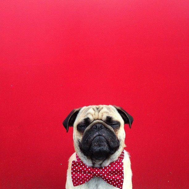 Norm the pug instagram. Dapper.