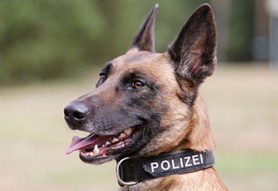 Belçika Malinois Kurdu Polis Köpeği #polisköpekleri #belçikakurdu #malinois